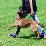 Cours dressage chien à Auray, Plouharnel, Quiberon, Camors, Pluvigner