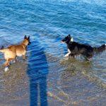 Chiens dans la mer à la plage Auray, Carnac, La Trinite sur mer, Quiberon, Plouharnel