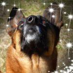 Chien en cours d'Education canine à Auray (Morbihan) avec Dog Sport Educ