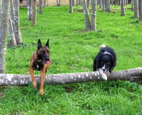 Education canine en forêt Morbihan Camors, Pluneret, Brec'h